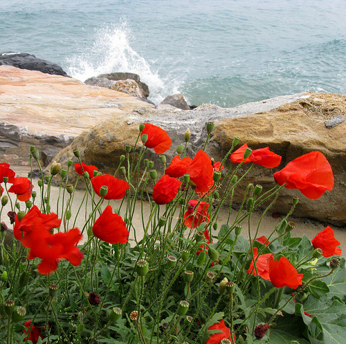 poppies sea