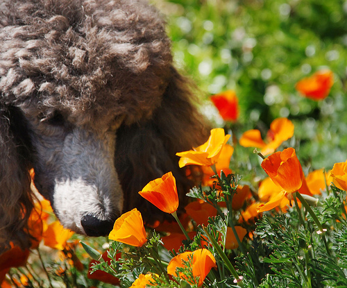 puppy poppies