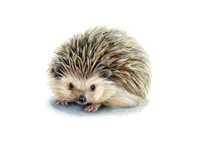 coolhedgehog