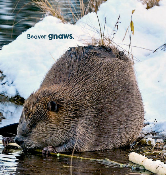 asiatische bb beaver mr chews